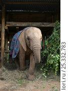 Купить «Young African elephant (Loxodonta africana) wearing a rug, standing in a shelter, Daphne Sheldrik's Orphanage, Nairobi, Kenya», фото № 25332783, снято 20 ноября 2017 г. (c) Nature Picture Library / Фотобанк Лори