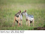 Купить «Black-backed jackal (Canis mesomelas) sub-adults playing, Masai Mara National Reserve, Kenya. March.», фото № 25332927, снято 13 июля 2020 г. (c) Nature Picture Library / Фотобанк Лори