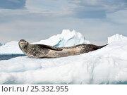 Leopard Seal (Hydrurga leptonyx) lying on ice floes, Yalour Islands, Antarctic Peninsula, Antarctica. Стоковое фото, фотограф Nick Garbutt / Nature Picture Library / Фотобанк Лори