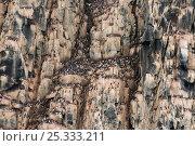 Купить «Large sea cliff colony of Brunnich's guillemot (Uria lomvia) nesting on along Sassenfjorden in summertime, Svalbard, Norway.», фото № 25333211, снято 30 марта 2020 г. (c) Nature Picture Library / Фотобанк Лори