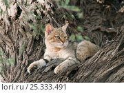 African wildcat (Felis lybica) lying in tree, Kgalagadi Transfrontier Park, South Africa. Стоковое фото, фотограф Ann & Steve Toon / Nature Picture Library / Фотобанк Лори