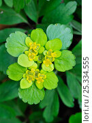 Купить «Opposite-leaved Golden saxifrage (Chrysosplenium oppositifolium) Luxembourg», фото № 25334555, снято 18 октября 2018 г. (c) Nature Picture Library / Фотобанк Лори