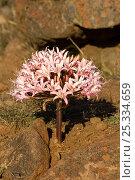 Купить «Candelabra lily (Brunsvigia bosmaniae) in flower, Namaqualand, South Africa», фото № 25334659, снято 18 июня 2019 г. (c) Nature Picture Library / Фотобанк Лори