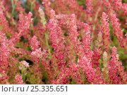 Купить «Glasswort (Salicornia fruticosa) in flower,  Menorca, Balearic Islands, Spain», фото № 25335651, снято 26 мая 2019 г. (c) Nature Picture Library / Фотобанк Лори