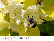 """Купить «Hoverfly (Volucella bombylans) uses long proboscis to feed from flower of Mock orange (Philadelphus coronarius """"Aureus"""") This species is a White-tailed bumblebee mimic. Wiltshire garden, UK, June.», фото № 25336027, снято 25 марта 2019 г. (c) Nature Picture Library / Фотобанк Лори"""