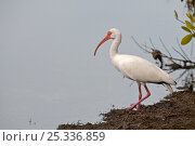 Купить «White ibis (Eudocimus albus) standing at waters edge, Ding Darling Nature Reserve, Sanibel Island, Florida, USA», фото № 25336859, снято 25 марта 2019 г. (c) Nature Picture Library / Фотобанк Лори
