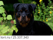 Head portrait of Rottweiler standing in field flowers and summer vegetation, Connecticut, USA. Стоковое фото, фотограф Lynn M Stone / Nature Picture Library / Фотобанк Лори