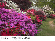 Купить «Azalea and Rhododendron display at Exbury Gardens, New Forest, Hampshire, England», фото № 25337459, снято 15 сентября 2019 г. (c) Nature Picture Library / Фотобанк Лори