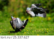 Купить «Wood pigeons (Columba palumbus) fighting on lawn, Dorset, UK, June», фото № 25337627, снято 12 декабря 2017 г. (c) Nature Picture Library / Фотобанк Лори