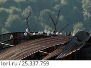 Купить «Tumbler pigeons / Rock doves (Columba livia) on corrugated iron roof, UK», фото № 25337759, снято 23 октября 2018 г. (c) Nature Picture Library / Фотобанк Лори
