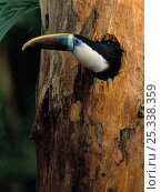 Купить «White-throated / Red billed Toucan (Ramphastos tucanus tucanus) at nest hole, South America, controlled conditions», фото № 25338359, снято 18 июня 2019 г. (c) Nature Picture Library / Фотобанк Лори