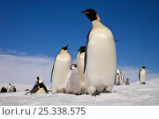 Купить «Emperor penguins (Aptenodytes forsteri) adults and chicks at Snow Hill Island rookery, Weddell Sea, Antarctica, November», фото № 25338575, снято 23 мая 2019 г. (c) Nature Picture Library / Фотобанк Лори