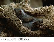 Купить «House mice (Mus musculus) in hessian sack, UK», фото № 25338995, снято 24 октября 2018 г. (c) Nature Picture Library / Фотобанк Лори