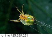 Купить «Green orb weaver spider (Araniella sp) spinning web, UK», фото № 25339251, снято 25 января 2020 г. (c) Nature Picture Library / Фотобанк Лори