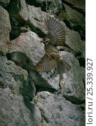 Купить «Tree sparrow (Passer montanus) male in flight to nest in stone wall, carrying insect prey. England, UK», фото № 25339927, снято 15 декабря 2017 г. (c) Nature Picture Library / Фотобанк Лори