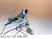 Купить «Goldfinch (Carduelis carduelis) perched on teasels,  Helsinki, Finland, December», фото № 25340491, снято 19 марта 2019 г. (c) Nature Picture Library / Фотобанк Лори