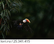 Купить «Red billed toucan (Ramphastos tucanus tucanus) in flight.», фото № 25341415, снято 18 июня 2019 г. (c) Nature Picture Library / Фотобанк Лори