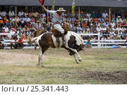 Купить «A gaucho (cowboy) tries to remain on the back of a  bucking wild horse (Equus caballus) in the rodeo during the Fiesta de la Patria Gaucha, Tacuarembo, Uruguay, April 2008», фото № 25341443, снято 26 апреля 2018 г. (c) Nature Picture Library / Фотобанк Лори