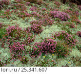 Купить «Lichen heath with lichens and heather growing, Murlough NNR, Dundrum, County Down, Northern Ireland, UK, July 1999», фото № 25341607, снято 17 августа 2018 г. (c) Nature Picture Library / Фотобанк Лори