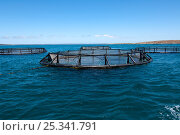 Tuna farming where wild-caught young tuna are penned and farmed until maturity, Southern Ocean bay, Port Lincoln, Eyre Peninsula, South Australia January 2007. Стоковое фото, фотограф Steven David Miller / Nature Picture Library / Фотобанк Лори