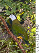 Купить «Black-naped fruit dove (Ptilinopus melanospila) captive, from Southern Philippines, Java, Bali», фото № 25341943, снято 7 декабря 2019 г. (c) Nature Picture Library / Фотобанк Лори