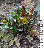 Купить «Beetroot / Garden beet (Beta vulgaris) growing in field, Belgium», фото № 25341967, снято 23 февраля 2018 г. (c) Nature Picture Library / Фотобанк Лори