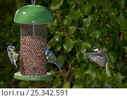 Купить «Blue tits (Parus caeruleus) feeding at nut feeder, Great tit (Parus major) flying to feeder, UK», фото № 25342591, снято 18 октября 2018 г. (c) Nature Picture Library / Фотобанк Лори