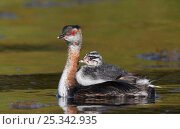 Купить «Slavonian / Horned Grebe (Podiceps auritus) adult with chick riding on back, Uts, Finland, August», фото № 25342935, снято 25 мая 2018 г. (c) Nature Picture Library / Фотобанк Лори