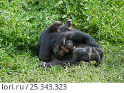 Купить «Rescued Chimpanzee infant (Pan troglodytes) called Afrika plays with sub-adult female chimp (Ikuru), who acts as a surrogate in the infant integration...», фото № 25343323, снято 23 января 2018 г. (c) Nature Picture Library / Фотобанк Лори