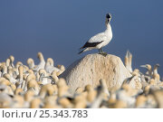 Купить «Cape Gannet (Sula capensis) perched on a rock whilst calling, nesting colony, Lamberts Bay, South Africa.», фото № 25343783, снято 18 января 2020 г. (c) Nature Picture Library / Фотобанк Лори
