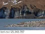 King Penguin (Aptenodytes patagonicus) colony on coast, St Andrews Bay, South Georgia Island, Southern Ocean, Antarctic Convergence. November 2008. Стоковое фото, фотограф Ingo Arndt / Nature Picture Library / Фотобанк Лори