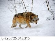 Купить «European grey wolf  (Canis lupus) walking in deep snow, captive. Bayerischerwald National Park, Germany.», фото № 25345315, снято 20 февраля 2020 г. (c) Nature Picture Library / Фотобанк Лори