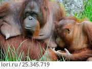 Купить «Portrait of female Orang-utan (Pongo pygmaeus)nursing her young, captive. Native to Borneo,», фото № 25345719, снято 27 мая 2019 г. (c) Nature Picture Library / Фотобанк Лори