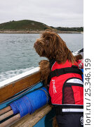 Domestic dog wearing a life-jacket onboard a boat. Maisie (3/4 Tibetan Terrier, 1/4 Cocker Spaniel) on Isles of Scilly, UK, September. Стоковое фото, фотограф Merryn Thomas / Nature Picture Library / Фотобанк Лори
