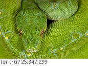 Green Tree Python (Chondopython viridis), Papua New Guinea. Стоковое фото, фотограф Ingo Arndt / Nature Picture Library / Фотобанк Лори