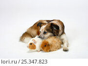 Mixed Breed Dog (crossbred Border Collie) with two Guinea Pigs. Стоковое фото, фотограф Petra Wegner / Nature Picture Library / Фотобанк Лори