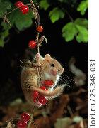 Dormouse {Muscardinus avellanarius} on Bryony berries, UK. Стоковое фото, фотограф Stephen Dalton / Nature Picture Library / Фотобанк Лори