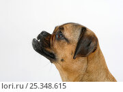 Mixed Breed Dog (crossbred Pug-Dachshund) / undershot bite, bitch. Стоковое фото, фотограф Petra Wegner / Nature Picture Library / Фотобанк Лори