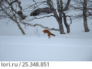 Купить «Fox (Vulpes vulpes) in a  winter landscape, hunting for mice, Kronotsky Zapovednik, Kamchatka, Russia», фото № 25348851, снято 24 октября 2018 г. (c) Nature Picture Library / Фотобанк Лори