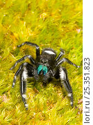 Regal Jumping Spider (Phidippus regius) Male on moss, North Florida, USA. Стоковое фото, фотограф Barry Mansell / Nature Picture Library / Фотобанк Лори