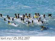 Купить «King penguin (Aptenodytes patagonicus) group bathing, St Andrews Bay, South Georgia, November», фото № 25352287, снято 3 июля 2020 г. (c) Nature Picture Library / Фотобанк Лори