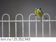 Купить «Blue tit (Parus caeruleus) perched on fence covered in frost, Scotland, UK, February», фото № 25352943, снято 20 октября 2018 г. (c) Nature Picture Library / Фотобанк Лори