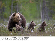 Купить «European brown bear (Ursus arctos) with three cubs, Finland, June», фото № 25352991, снято 15 июня 2018 г. (c) Nature Picture Library / Фотобанк Лори