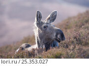 Купить «Moose / European elk (Alces alces) female on moorland, Alladale Wilderness Reserve, Highlands, Scotland, UK, September», фото № 25353027, снято 16 августа 2018 г. (c) Nature Picture Library / Фотобанк Лори