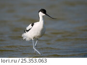 Avocet (Recurvirostra avosetta) Texel, the Netherlands. Стоковое фото, фотограф Bernard Castelein / Nature Picture Library / Фотобанк Лори