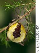 Купить «Marbled orb weaver spider {Araneus marmoreus}  UK», фото № 25353451, снято 25 января 2020 г. (c) Nature Picture Library / Фотобанк Лори