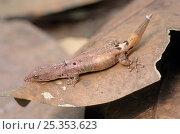 Dwarf gecko (Sphaerodactylus glaucus) on leaf, Montes Azules Biosphere Reserve, Lacandon Rainforest, Mexico, August. Стоковое фото, фотограф Claudio Contreras / Nature Picture Library / Фотобанк Лори