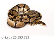 Ball / Royal python (Python regius) coiled with tongue extended. Стоковое фото, фотограф Mark Bowler / Nature Picture Library / Фотобанк Лори