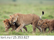 Купить «Lioness (Panthera leo) walking with 6-9 month cubs. Masai Mara National Reserve, Kenya. December», фото № 25353827, снято 23 января 2018 г. (c) Nature Picture Library / Фотобанк Лори