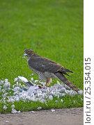 Купить «Eurasian sparrowhawk (Accipiter nisus) with Collared dove (Streptopelia decaocto) prey in garden, Ringwood, Hampshire, England, November», фото № 25354015, снято 27 февраля 2020 г. (c) Nature Picture Library / Фотобанк Лори